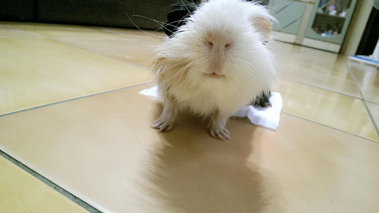Guinea Pig Hi! Sunday Hanji