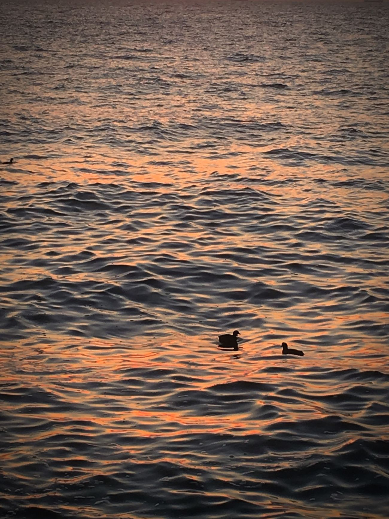Sky Bird Nature Animals In The Wild Water Animal Themes Waterfront Rippled No People Animal Wildlife Beauty In Nature Duck Sunset Tokyo Ocean View Japan Tokyo Bay Chiba Sea Outdoors Day