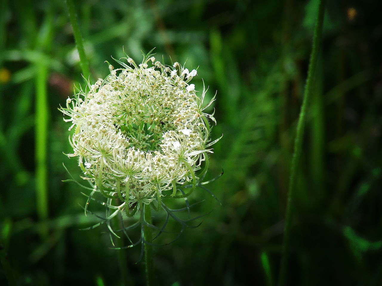 green color, nature, growth, flower, beauty in nature, plant, close-up, no people, focus on foreground, outdoors, day, fragility, flower head, freshness, thistle