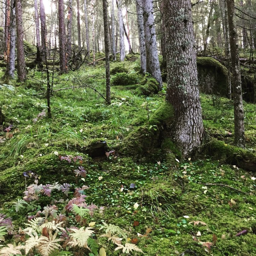 Nature Tree Trunk Growth Tree Forest Tranquility Beauty In Nature Tranquil Scene Scenics No People Day Outdoors Green Color Branch Grass Norway Noedit