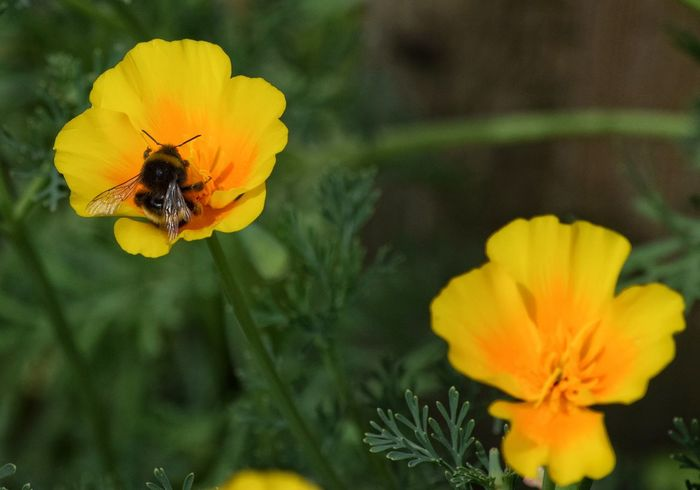 California Poppies Poppy Petal Insect Flower Fragility Yellow Golden Flower Head Close-upBumble Bee Bumblebee Green Color Multi Colored Plant Freshness Summer Bee Day Growth No People Outdoors Beauty In Nature Plant Nature
