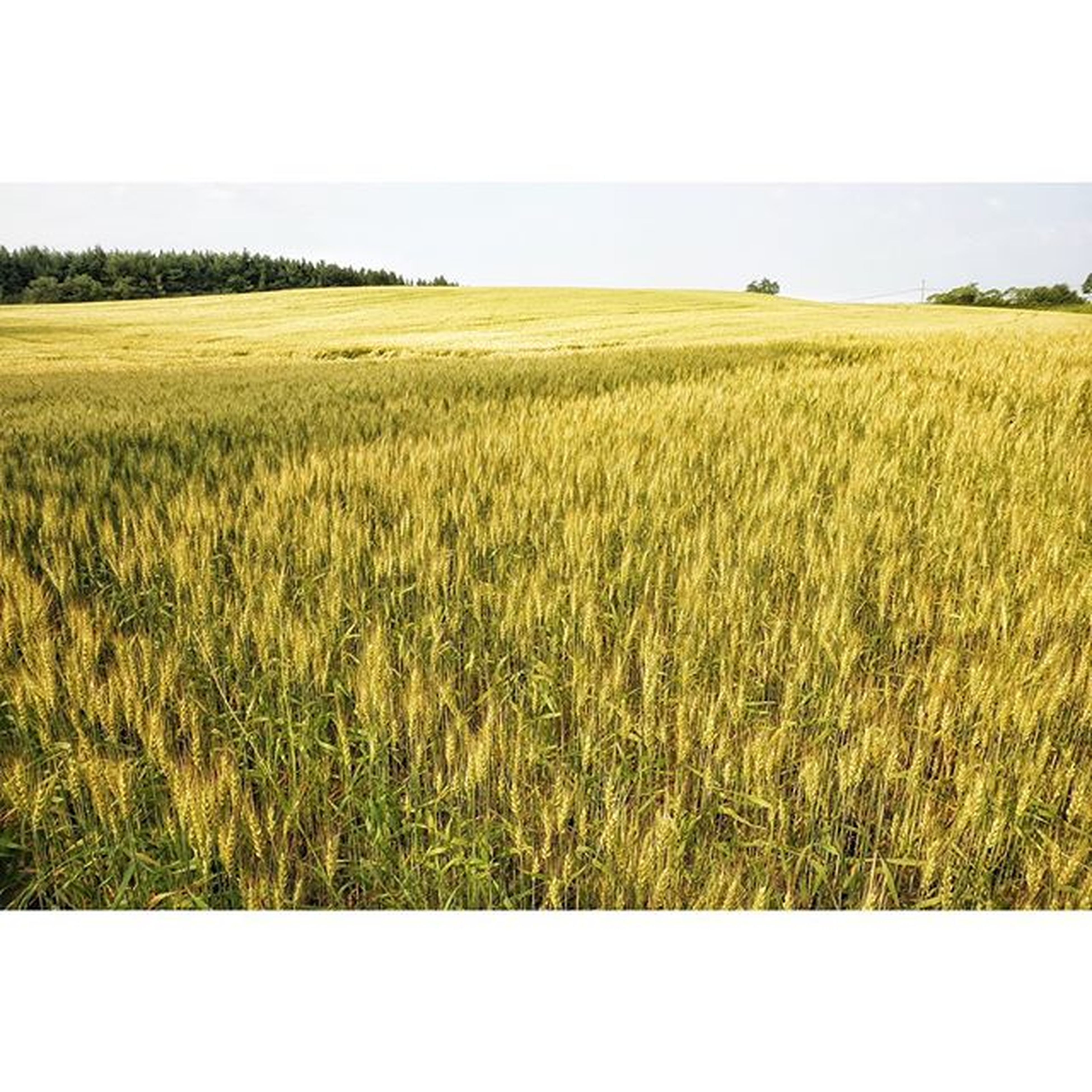 field, agriculture, rural scene, growth, tranquil scene, landscape, tranquility, crop, beauty in nature, clear sky, scenics, nature, grass, yellow, farm, plant, cultivated land, horizon over land, cereal plant, copy space
