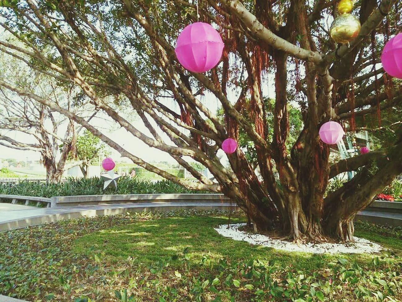 Yuanshan Taiwan Tree