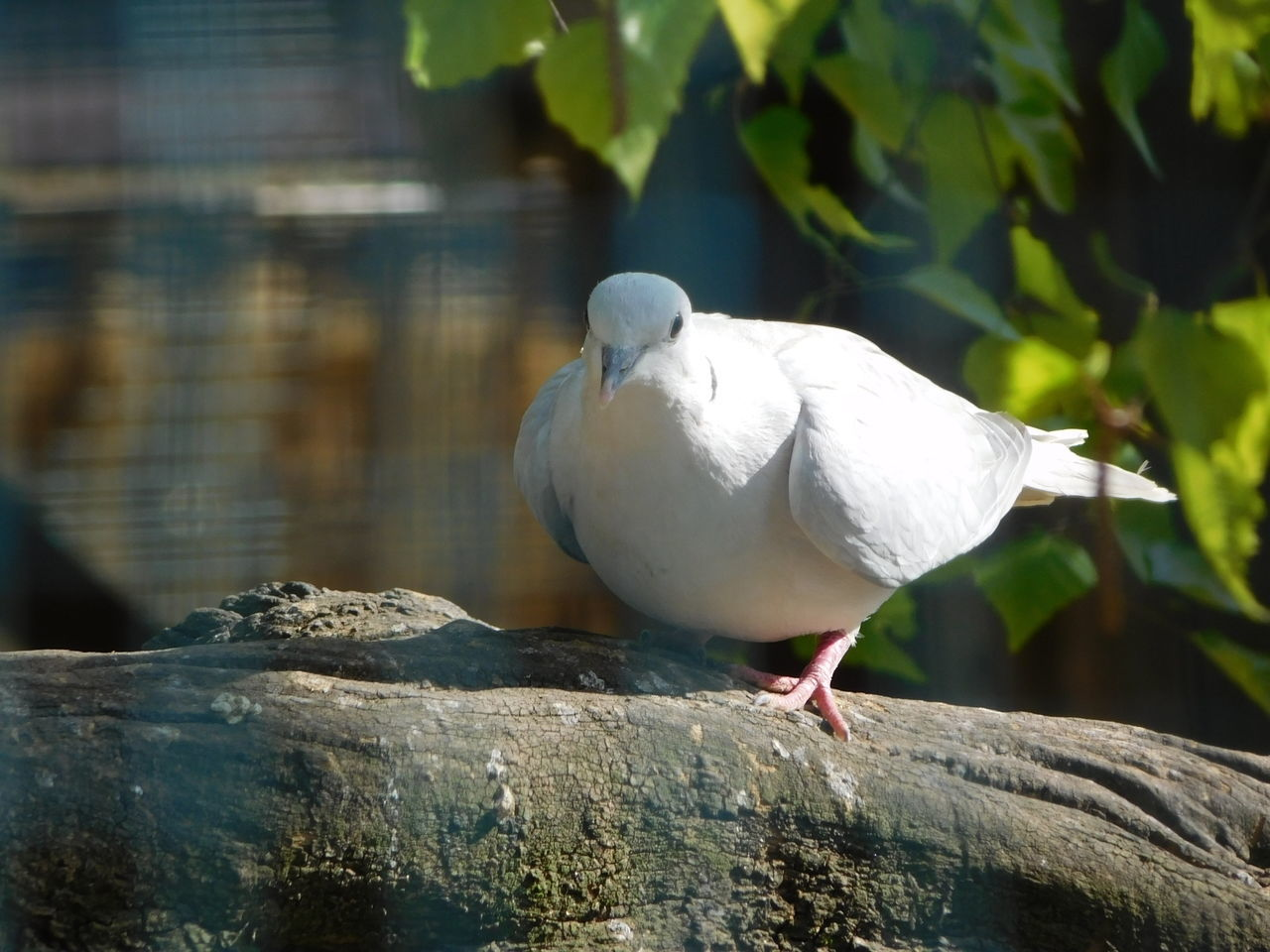 Animal Themes Animal Wildlife Animals In The Wild Bird Bird Photography Birds Birds Of EyeEm  Birds_collection Close-up Day Fluffy Focus On Foreground Nature No People One Animal Outdoors Perching Pigeon Pigeons Pigeonslife White Bird White Color
