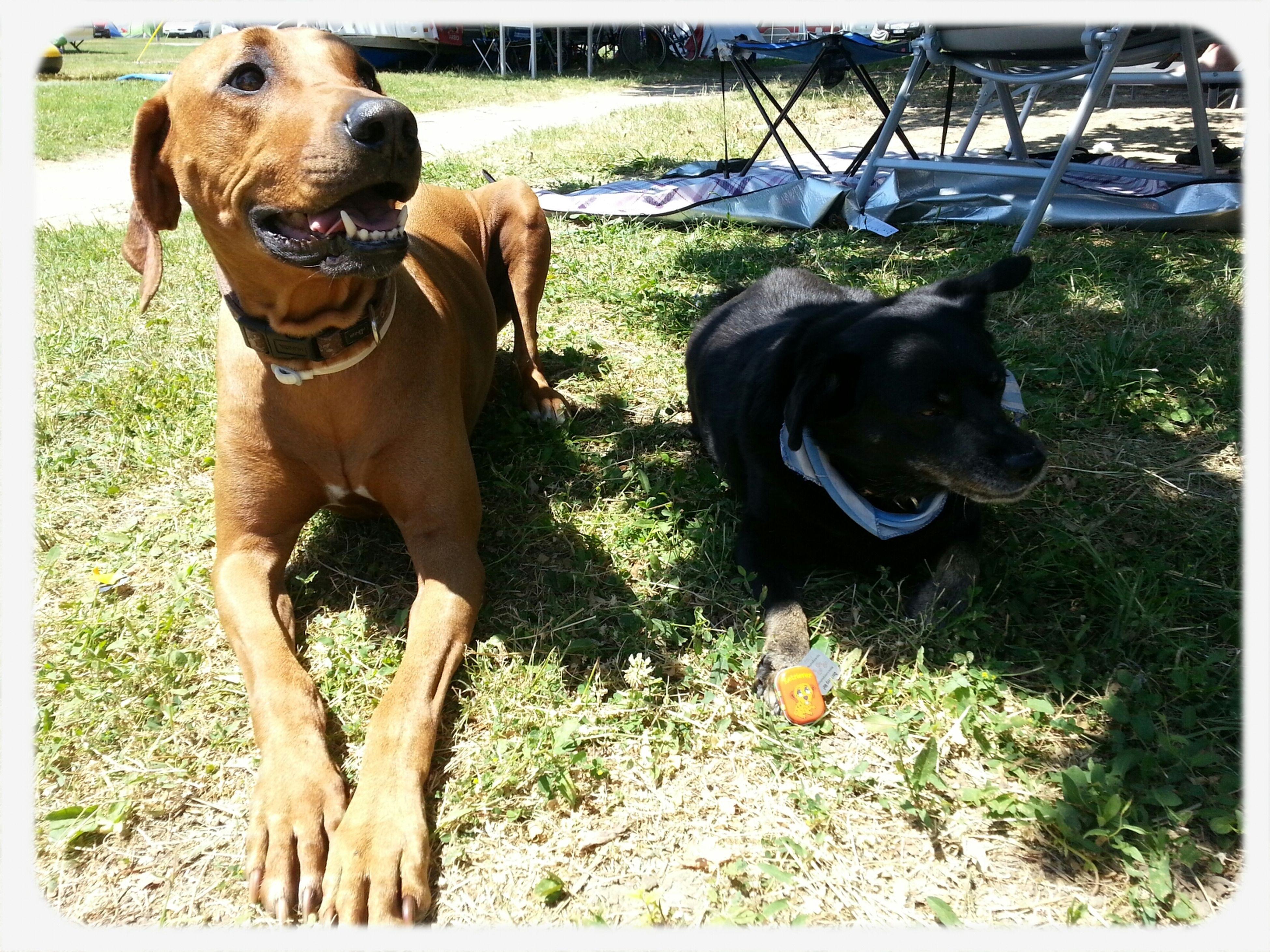 Joy mit Ihrem Freund Sparky im Urlaub in Baska, Kroatien. Rhodesian Ridgeback Hund Dog Urlaub