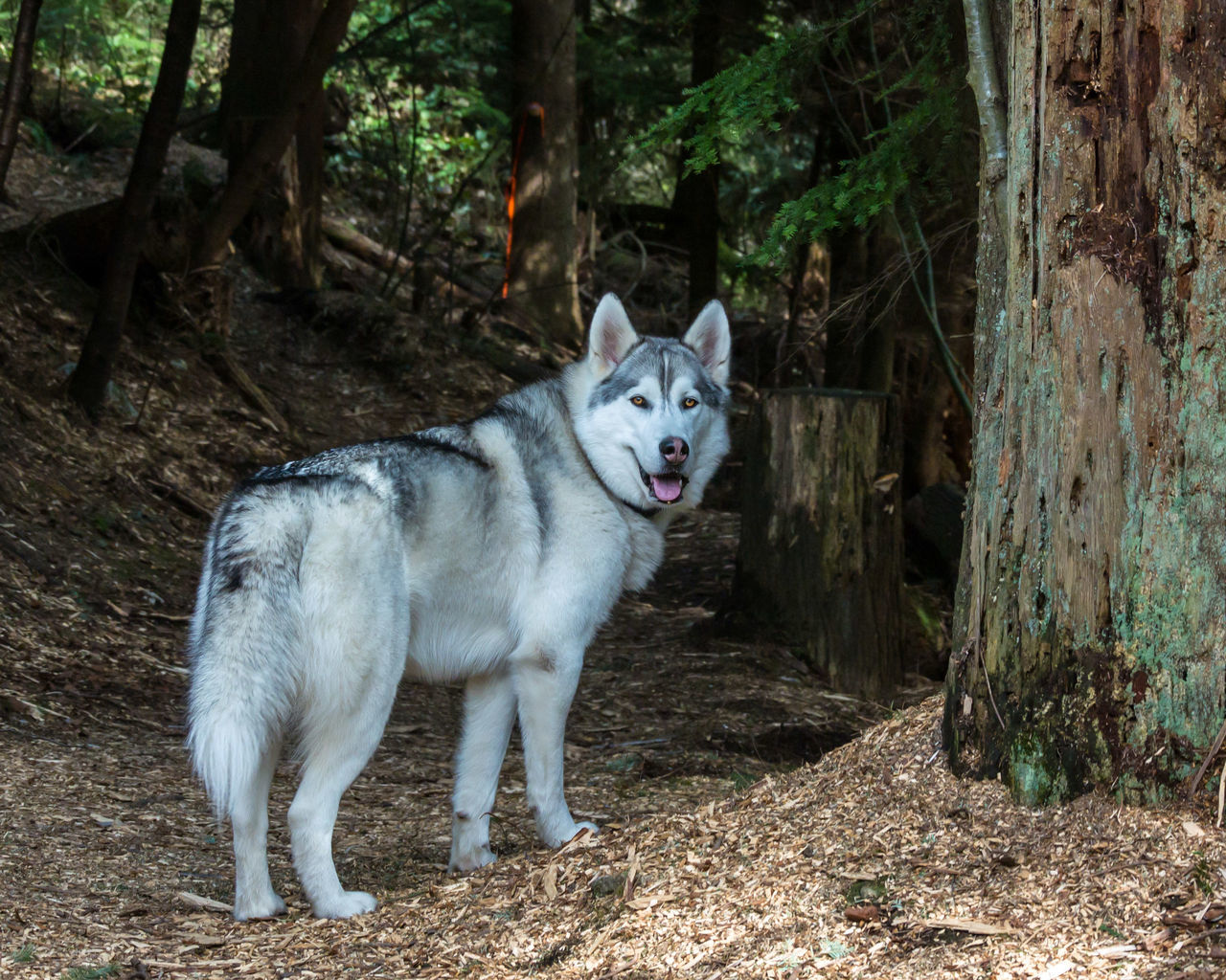 animal themes, one animal, domestic animals, mammal, pets, dog, outdoors, looking at camera, portrait, no people, day, nature