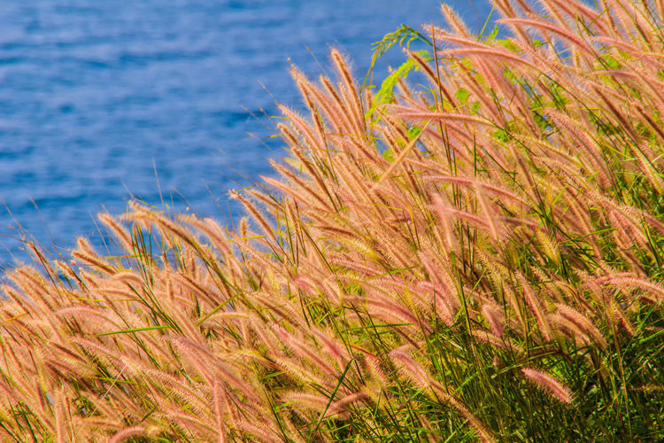 Beautiful Gramineae Grass with Blue Sea Background Gramineae PromThepCape Promthep Cape Beach Beauty In Nature Close-up Day Grass Growth Nature No People Outdoors Plant Promthep Scenics Sea Sky Tranquility Water