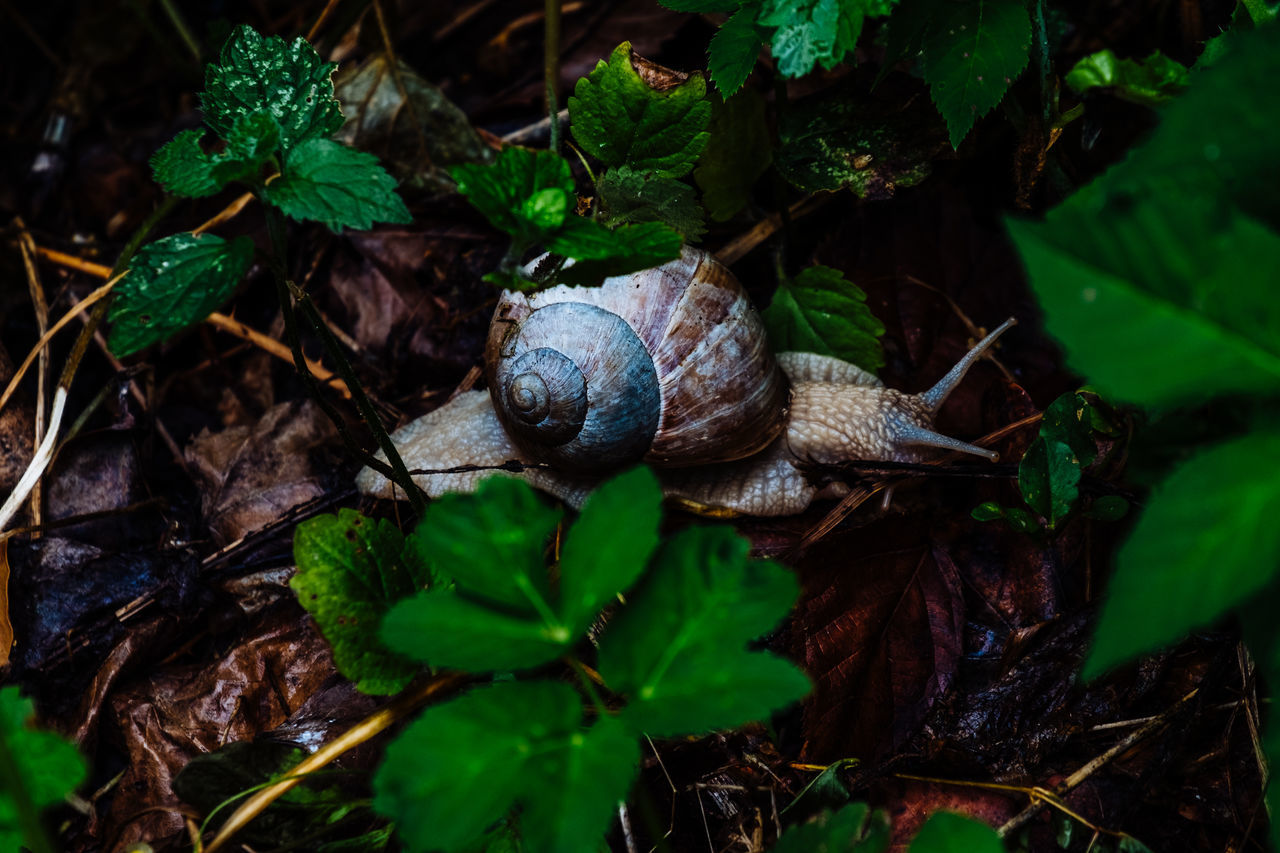 snail, gastropod, animal shell, one animal, leaf, animal themes, wildlife, fragility, animals in the wild, nature, no people, outdoors, close-up, day