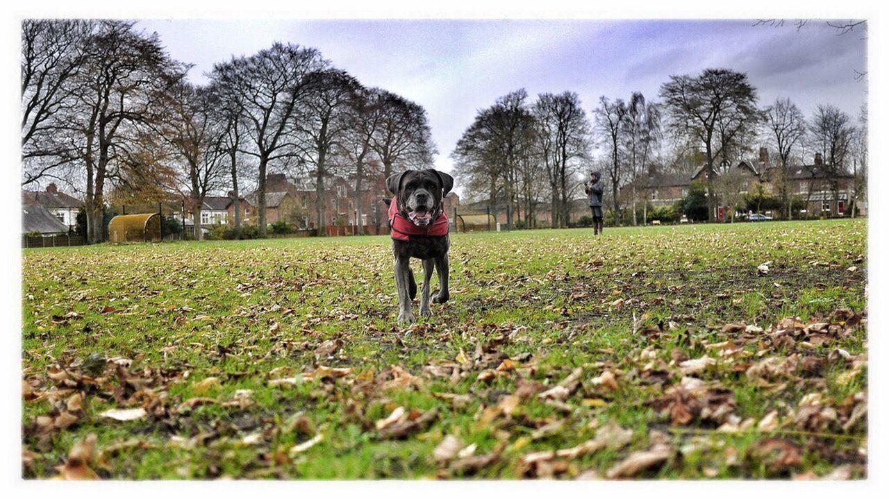 I Love My Dog Dog Cane Corso Canecorso  Italian Mastiff Longford Park