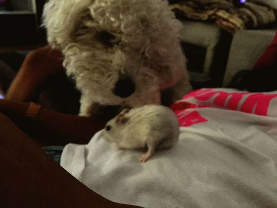 Hamster Caniche Canichetoy