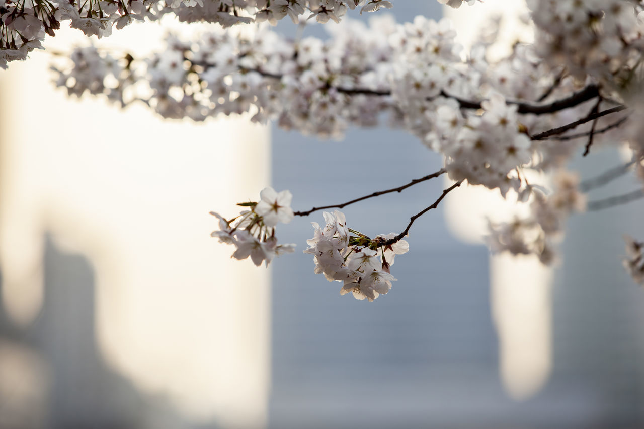 Apple Blossom Apple Tree Beauty In Nature Blossom Branch Cherry Blossom Cherry Tree Close-up Flower Focus On Foreground Fragility Freshness Fruit Tree Growth In Bloom Nature Outfocusing Petal Spring Time Tree Twig White Color