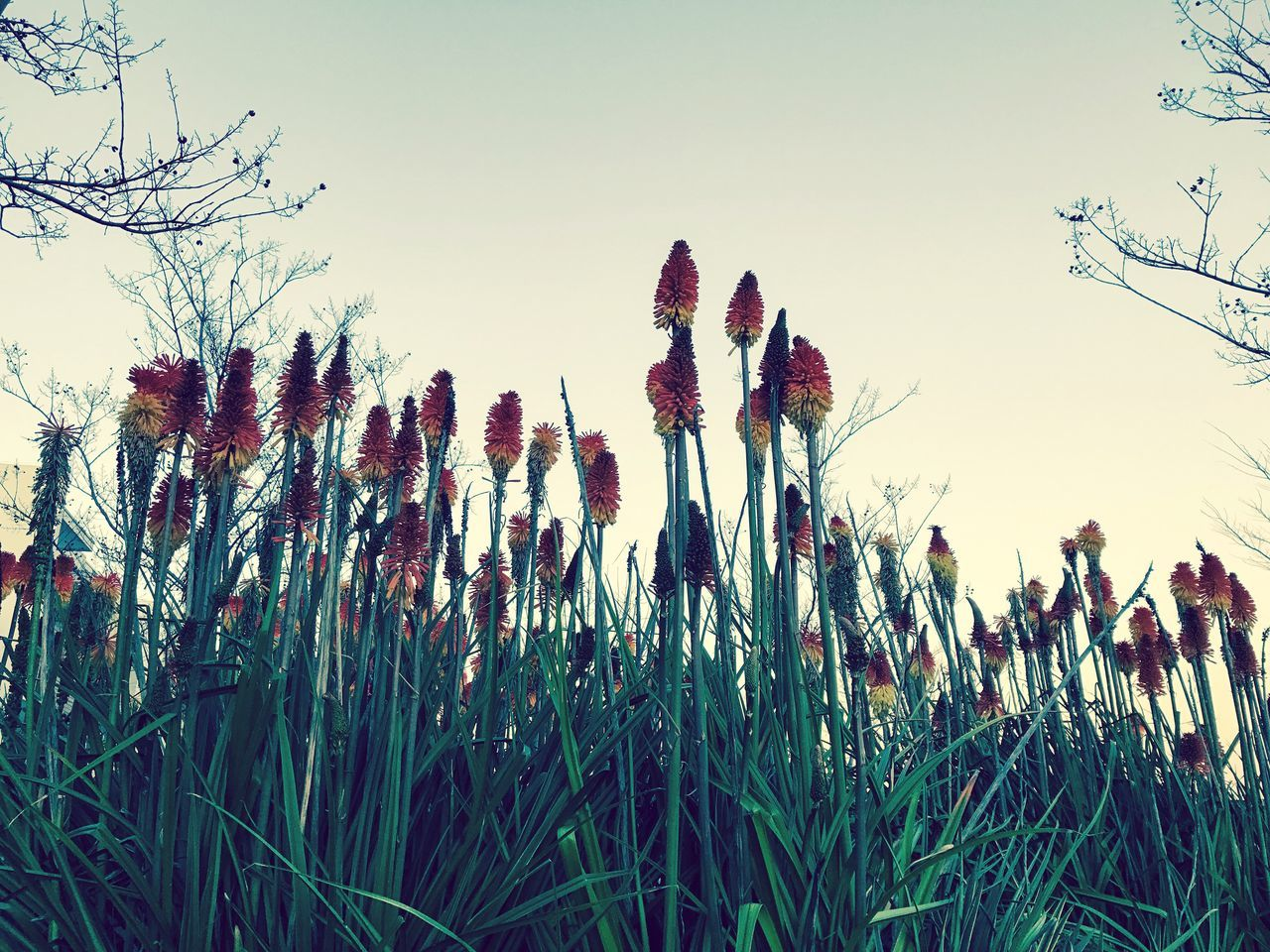 growth, nature, plant, tranquility, beauty in nature, no people, outdoors, clear sky, day, field, grass, sky, flower, close-up, freshness