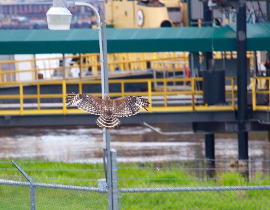 Taking Photos New Orleans Bird Photography Hawk Nature Mississippi River Algiers Sightseeing