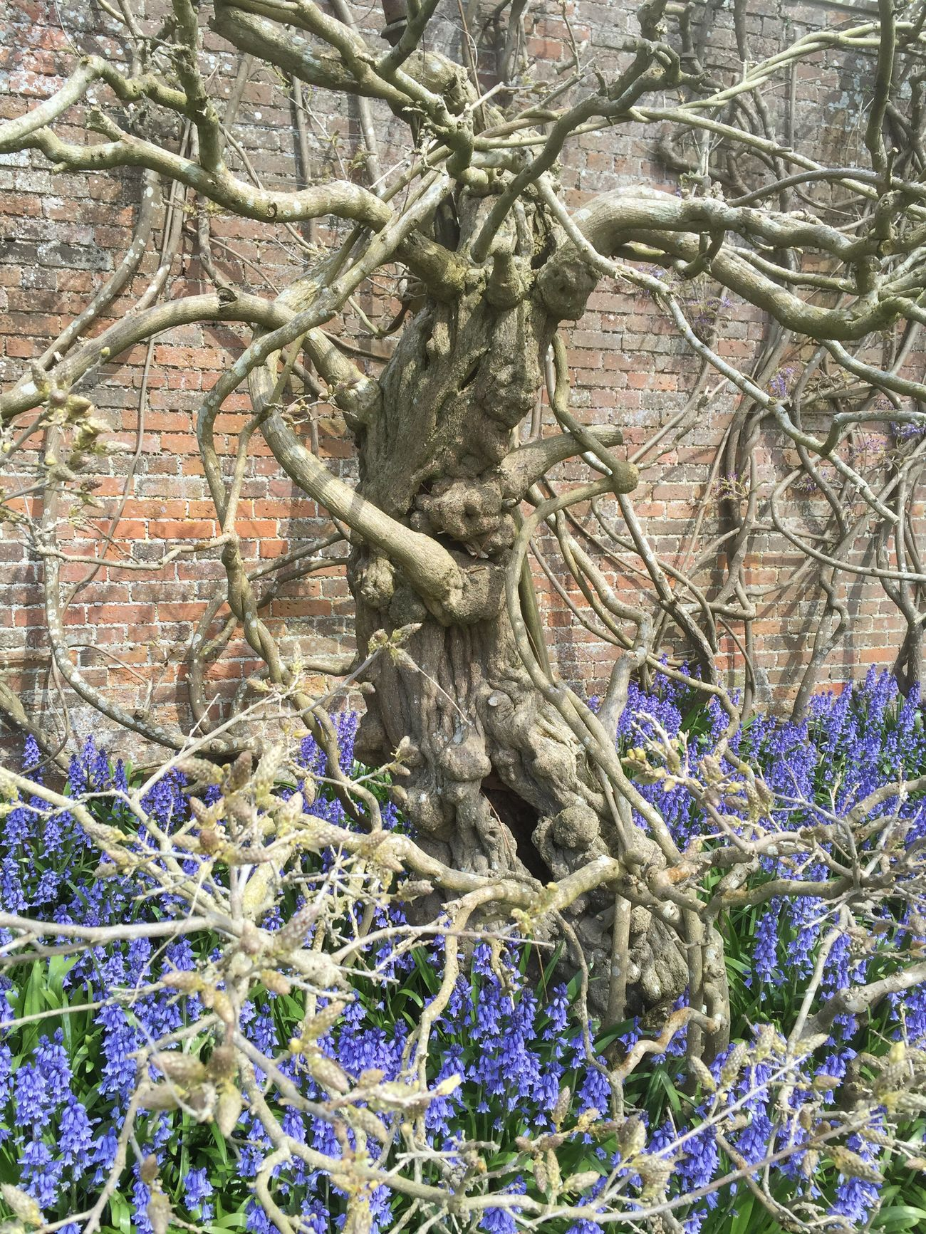 Treebeard vs The Bluebells Berrington Hall, Herefordshire UK