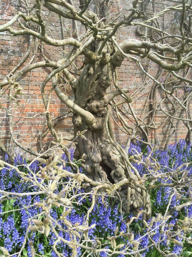 Treebeard vs The Bluebells Berrington Hall, Herefordshire UK