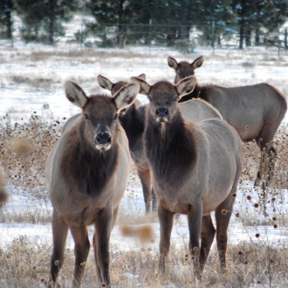 Animal Themes Mammal Animals In The Wild Beauty In Nature Newmexicophotography NewMexicoTRUE Elk Elk Herd Ełk
