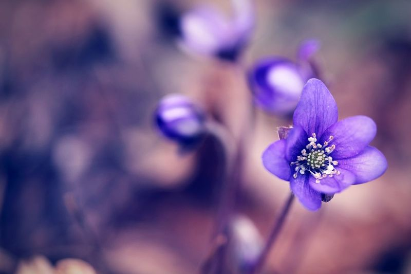 Blue Lilies Purple Close-up Fragility Flower Petal Nature Flower Head Blossom Beauty In Nature Outdoors Freshness