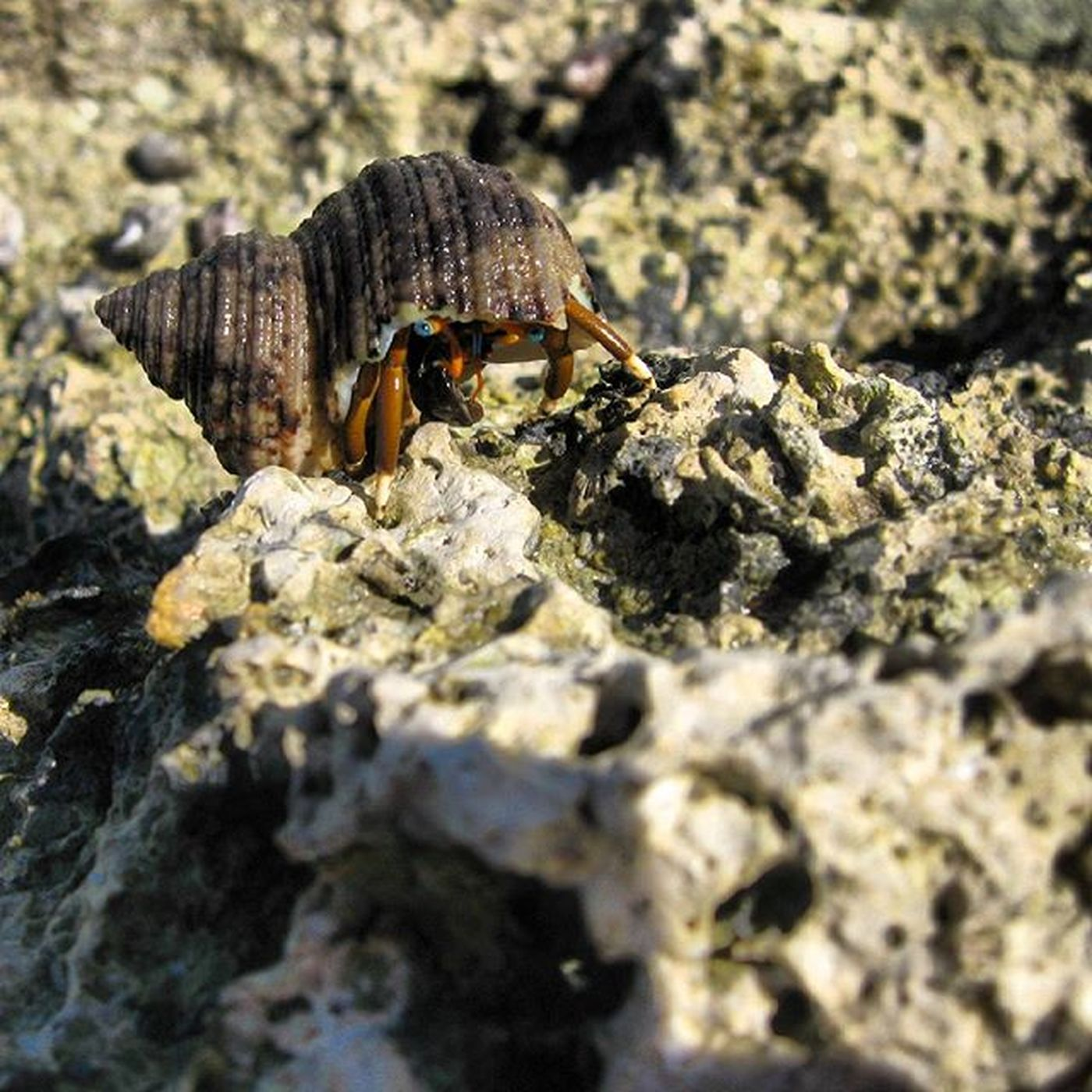 Hermit Crab - Calcinus laevimanus Hermitcrab Anomura Kelomang Ambon Ambonmanise INDONESIA Insta Instapic Biodiversity