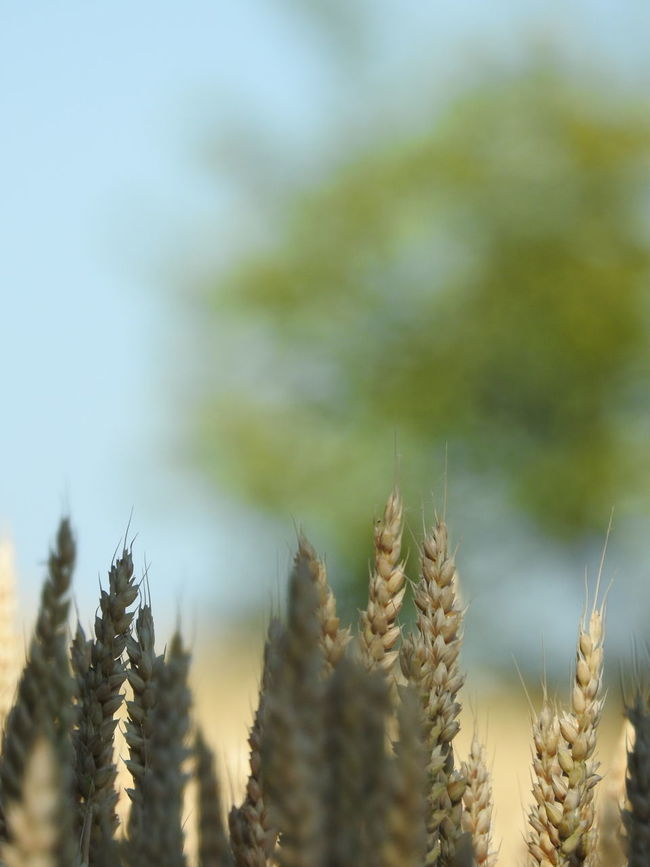 ça fait un bail que je voulais faire ces photos mais j'attendais la lumière adéquate. Abundance Beauty In Nature Blurred Background Bokeh Close-up Cornfield Details Of Nature Focus On Foreground France Growing Growth Landscape Light And Shadow Midi-Pyrenees Montpezat-de-quercy, Tarnetgaronne,france Nature Outdoors Plant Rural Scene Scenics Selective Focus Sky Tranquil Scene Trees And Sky