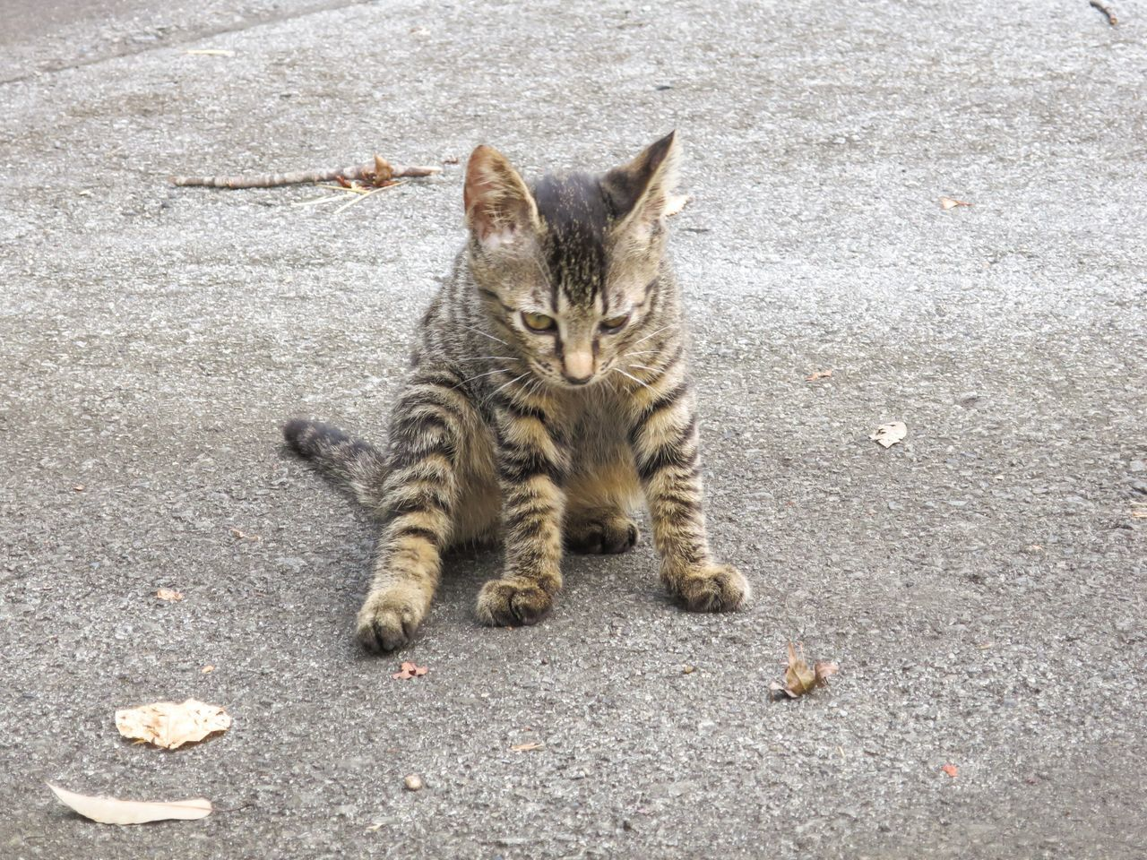 High Angle View Of Tabby Sitting On Street