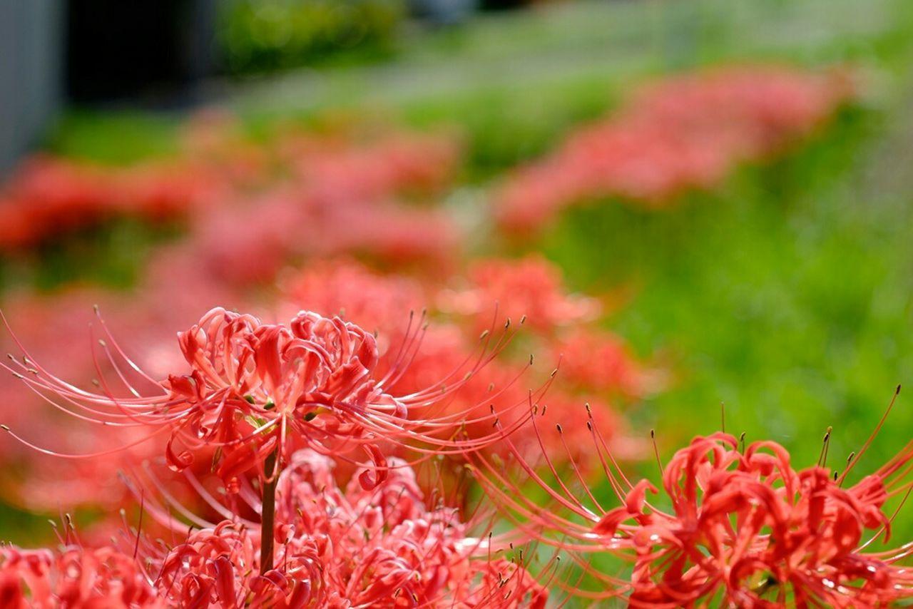 江戸川河川敷にて 彼岸花 曼珠沙華 Redspiderlily 花 Walking Around Fujifilm Fujifilm_xseries Nature Fujifilm X-E2 Fujixe2