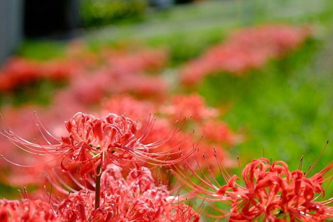 江戸川河川敷にて 彼岸花 曼珠沙華 Redspiderlily 花 Walking Around Fujifilm Fujifilm_xseries Nature Fujifilm X-E2 Fujixe2