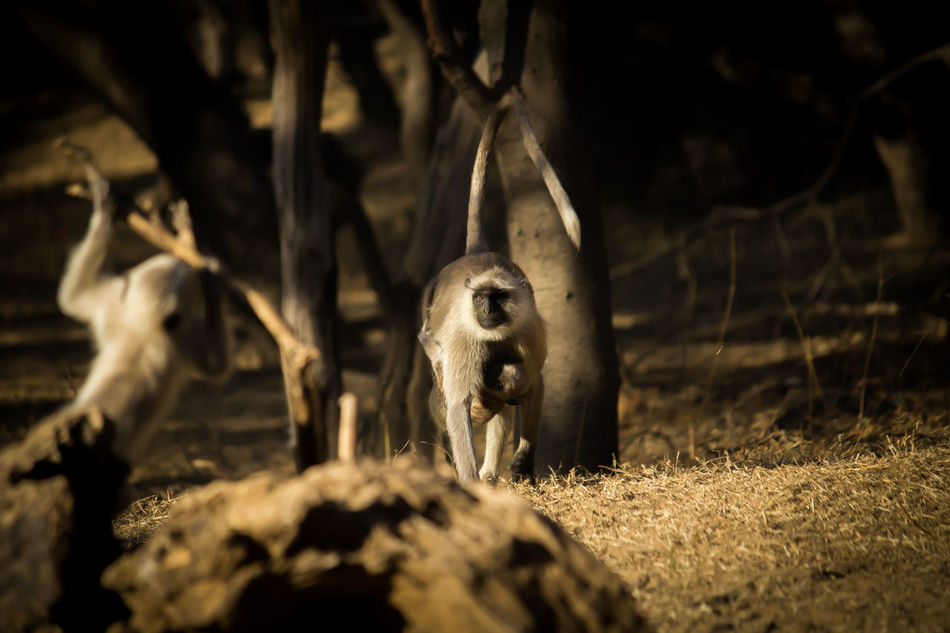 Hanuman Langur, found in ample in India. Considered Holy because of its sacred relation with Indian spiritualism. Wildlife & Nature Nature Animal Themes Outdoors First Eyeem Photo Monkey Langur