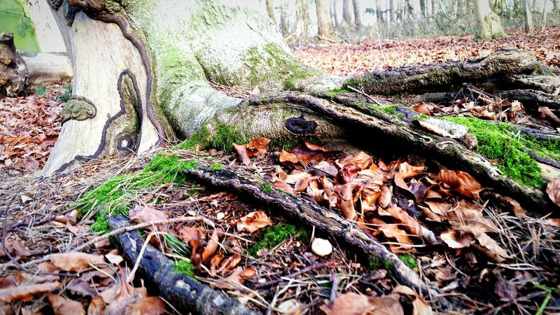 Intrusions through the ground. Tree Roots  Tree_collection  Rooted Uprooted Expanding Growing Old Leaning Tree Bark EyeEm Nature Lover Exploring The Woods