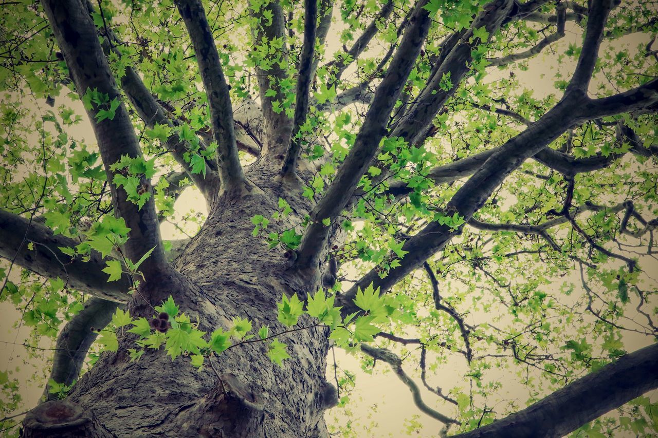 Branch Branches Day Green Color Growth Leaf Maple Nature No People Outdoors Tree Tree Trunk