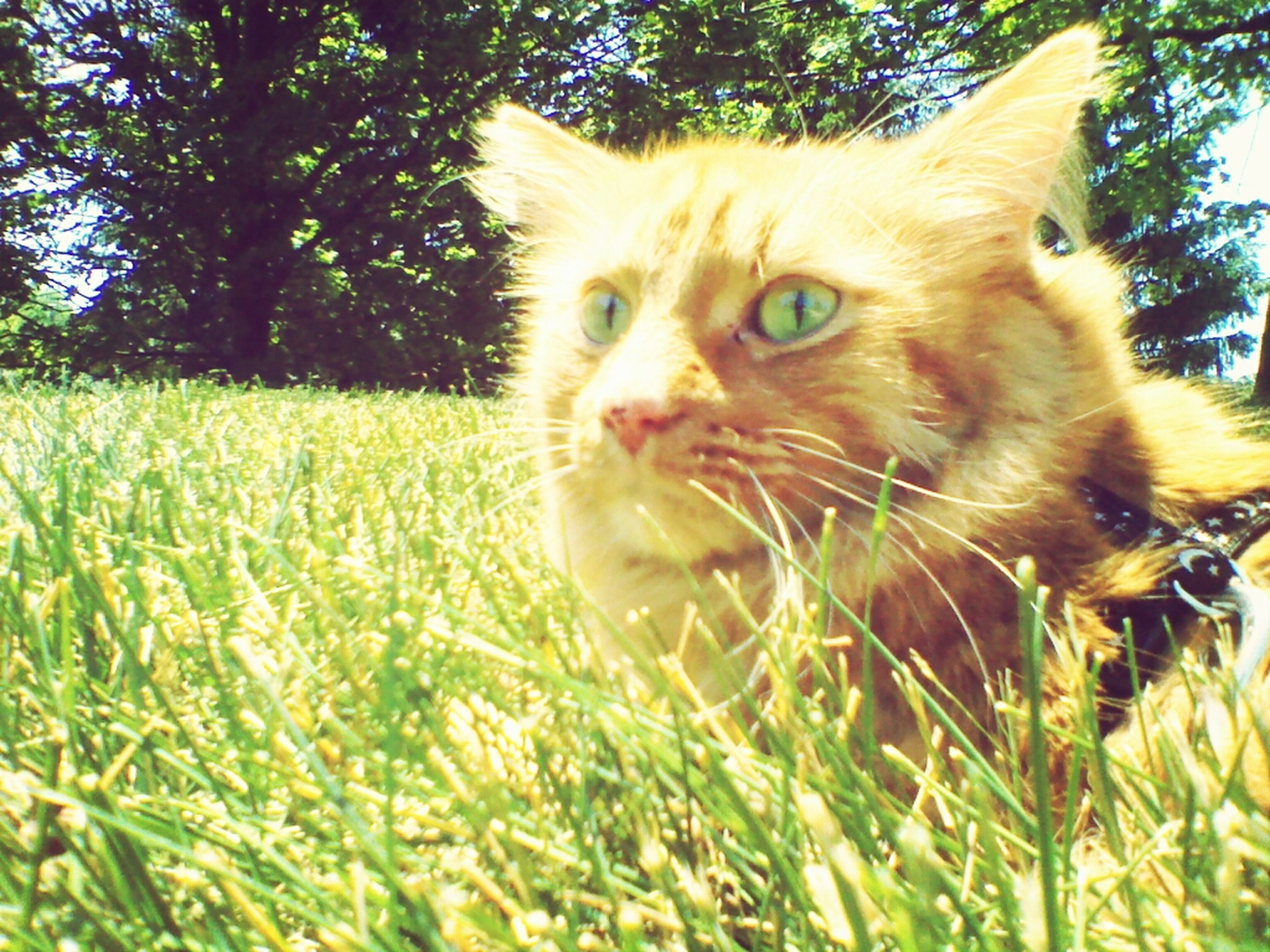 animal themes, one animal, grass, domestic animals, pets, mammal, domestic cat, field, feline, grassy, cat, whisker, green color, growth, close-up, nature, looking away, plant, animal head, day