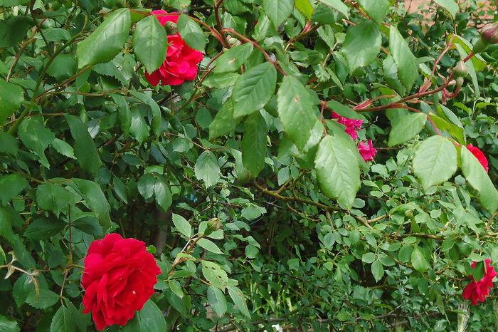 Flowers Leaves Novorossiysk Roses Red & Green Red Roses Roses Shrub Roses Spring Springtime Vegetation Verdure
