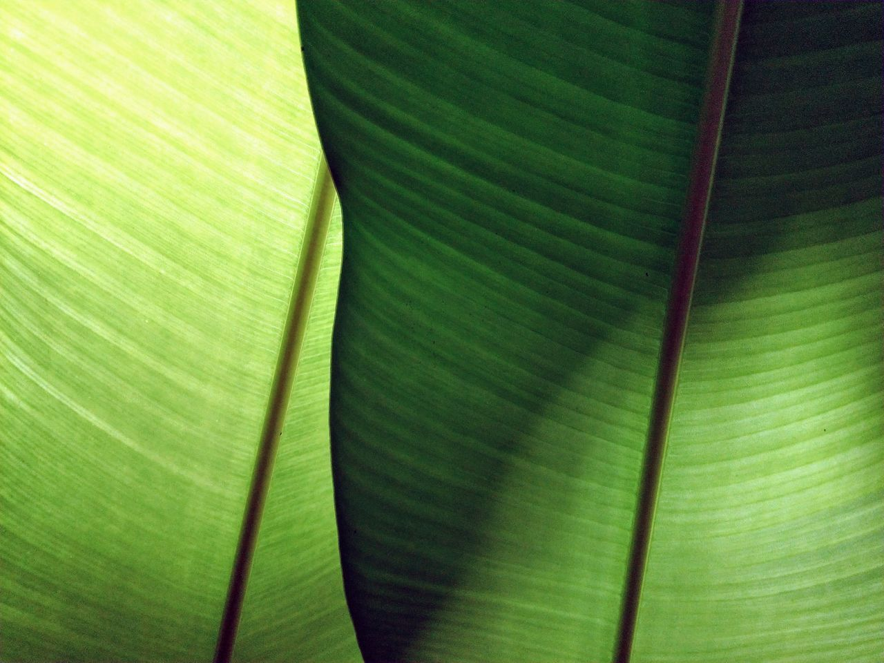 leaf, green color, banana leaf, textured, backgrounds, palm leaf, banana tree, close-up, full frame, no people, abstract, frond, nature, pattern, day, palm tree, growth, outdoors, tree
