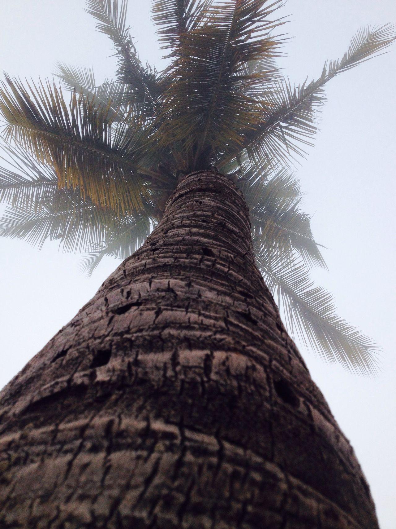 IPhone 4S IPhone4s IPhoneography Iphoneonly IPhone Iphonephotography Iphonesia Mobilephotography Mobile Photography Mobilephoto Coconut Tree Tree