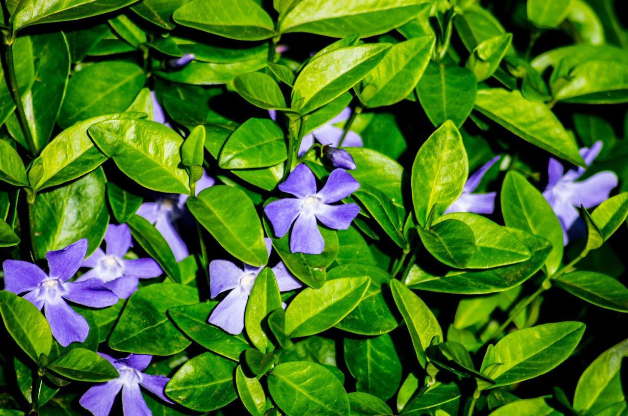 leaf, green color, growth, plant, fragility, nature, flower, beauty in nature, no people, petal, freshness, purple, outdoors, day, close-up, flower head, periwinkle