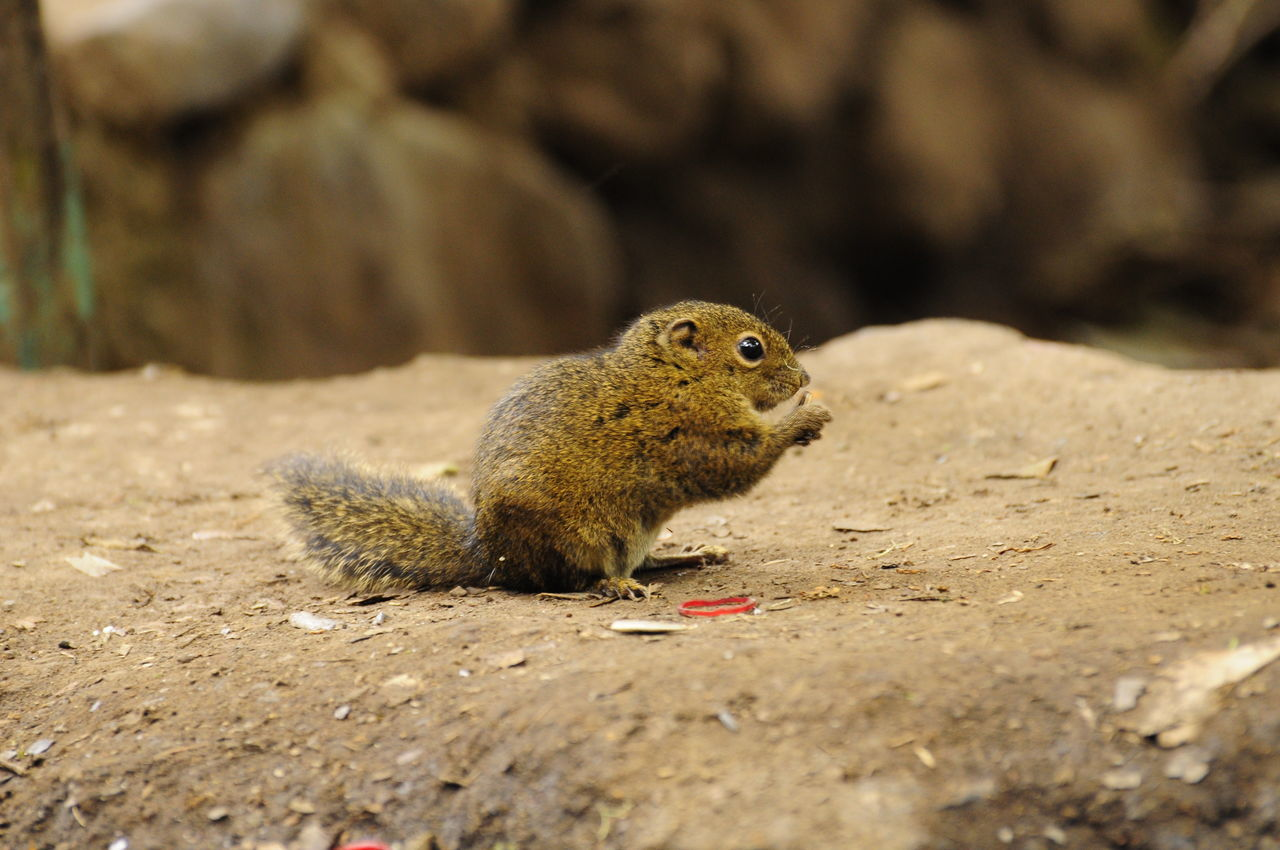 squirl Animal Themes Animal Wildlife Animals In The Wild Close-up Day Mammal Nature No People One Animal Outdoors