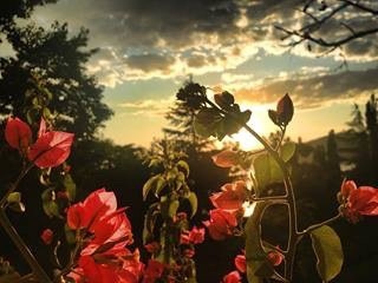 growth, flower, plant, nature, tree, no people, beauty in nature, sunset, cloud - sky, outdoors, close-up, sky, fragility, day, poppy, freshness, flower head