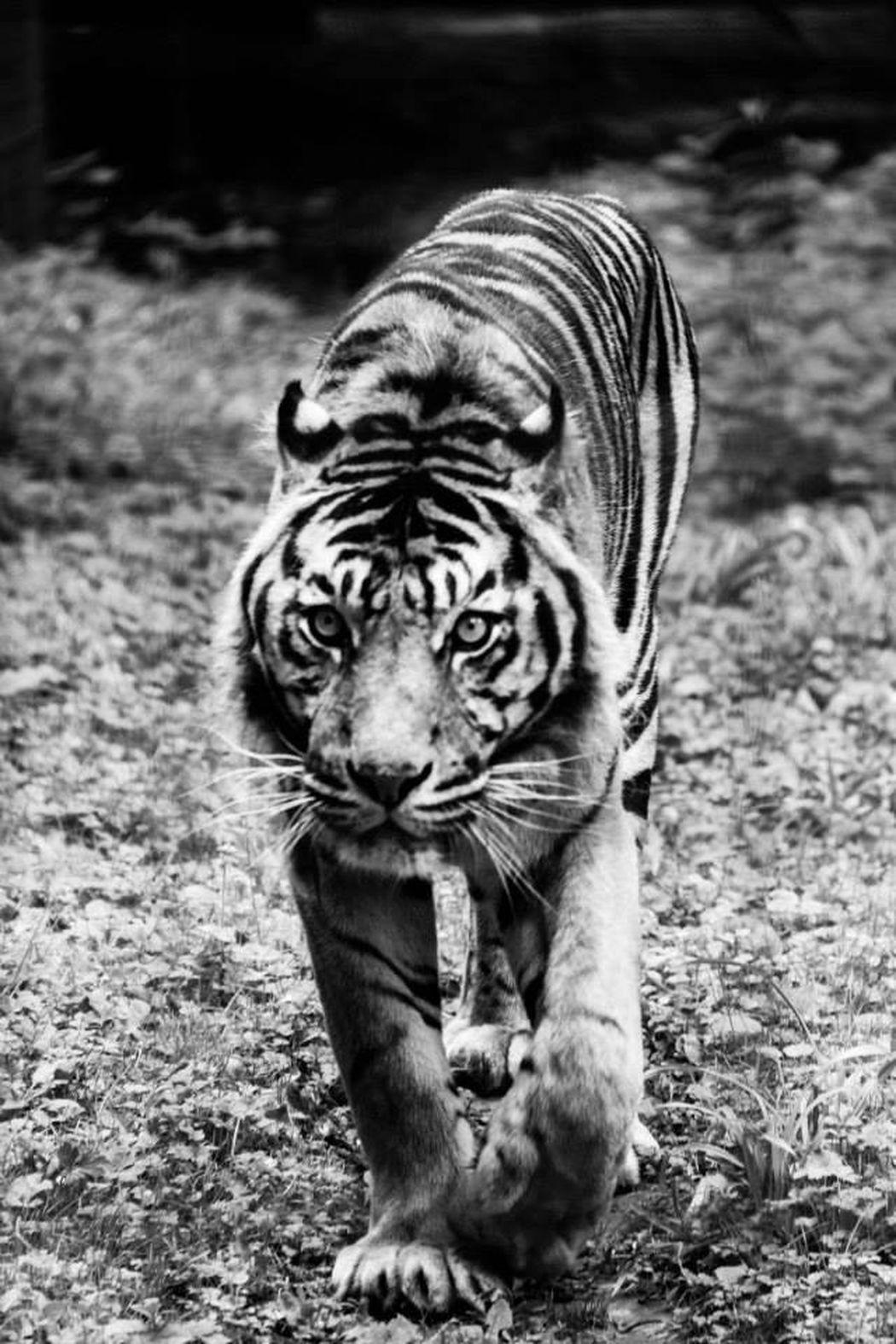 Tiger #tiger #wild #animal Taking Photos Zoo Blackandwhite
