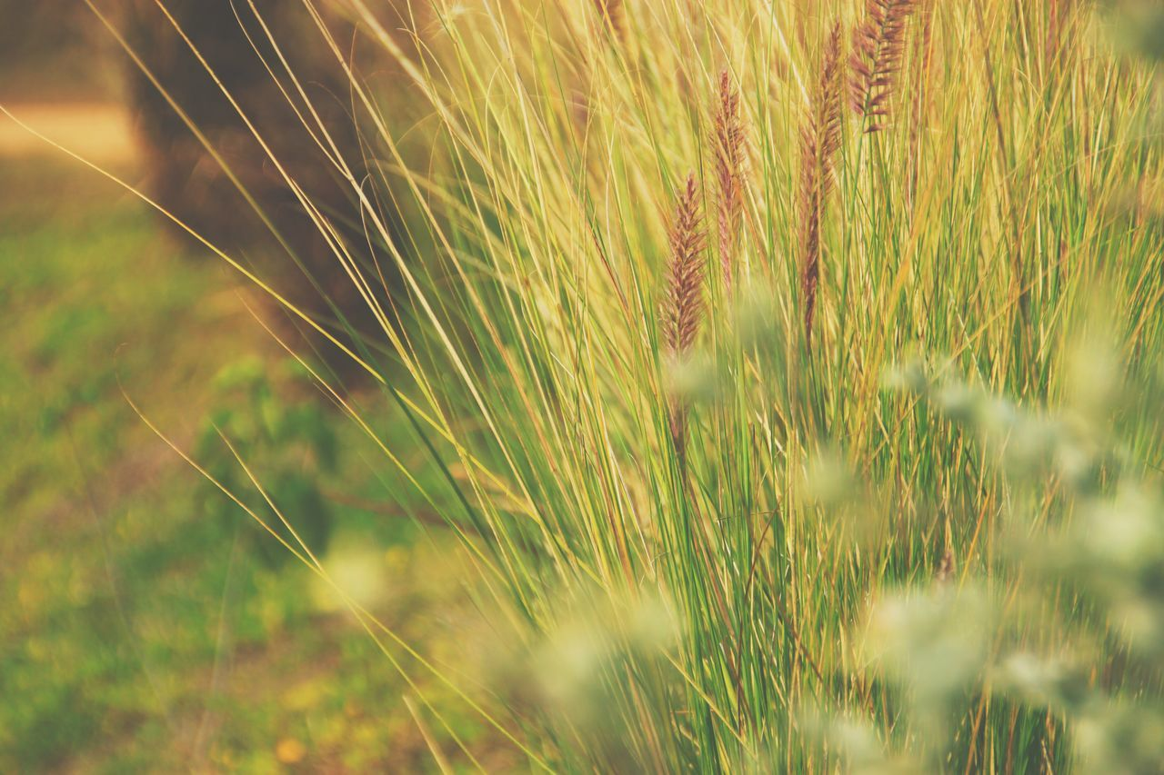 Backgrounds vintage grass. Nature No People Close-up Outdoors Grass Growth Beauty In Nature Day Timothy Grass Countryside Environment Scenics Season  Background Wallpaper Vintage Vintage Photo Vintage Style Plants Blur Blur Background Soft Soft Focus Emotion Relax
