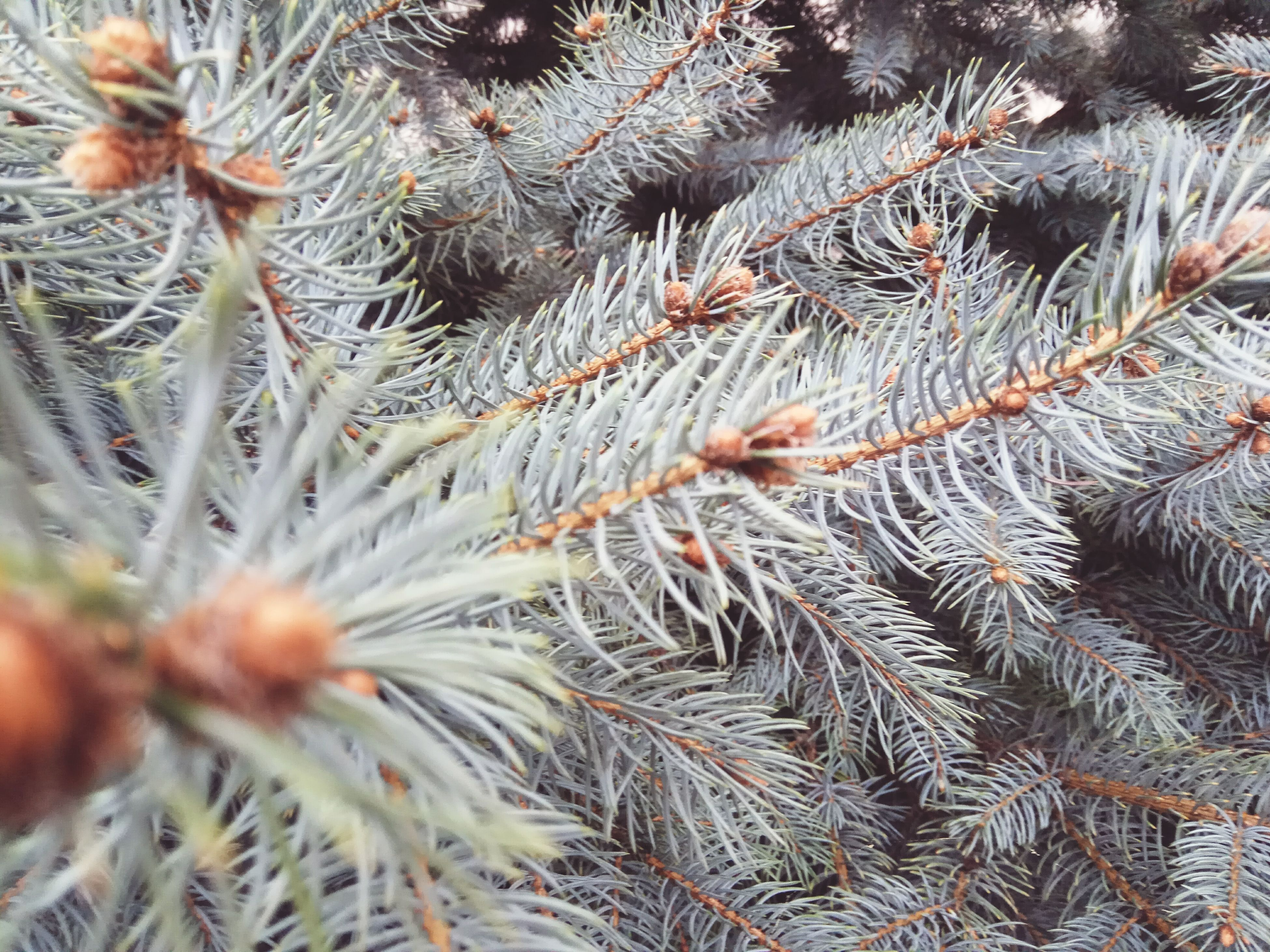nature, growth, close-up, pine tree, tree, beauty in nature, no people, branch, needle - plant part, day, plant, outdoors, full frame, tranquility, coniferous tree, backgrounds