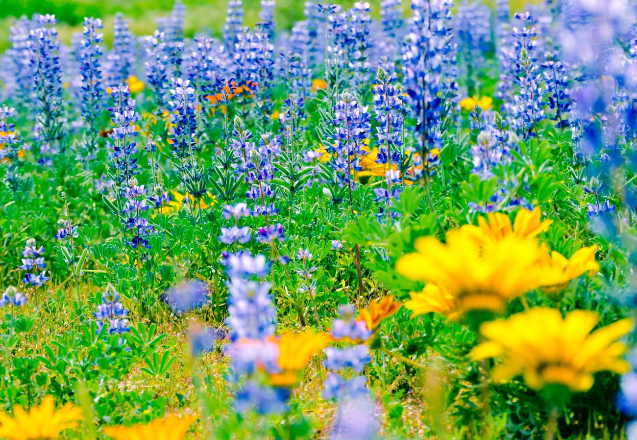 Spring wiled flowers Flower Growth Nature Beauty In Nature Plant Fragility Field Purple Outdoors No People Green Color Blooming Day Freshness Flowerbed Flower Head Wildflower Close-up Blue Flowers Wilderness Area Flowers Flowers,Plants & Garden Amazing