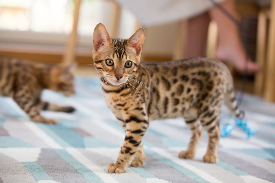 Animal Animal Themes Bengal Bengal Cat Bengals Cat Cute Day Domestic Animals Domestic Cat Feline Focus On Foreground Kitten Looking At Camera Mammal No People One Animal Pets Portrait Spots Stripes Pattern Tabby Cat Tiger You Young Animal