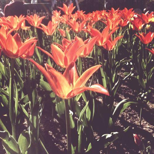 Tulips More Tulips тюльпанов слишком много не бывает!