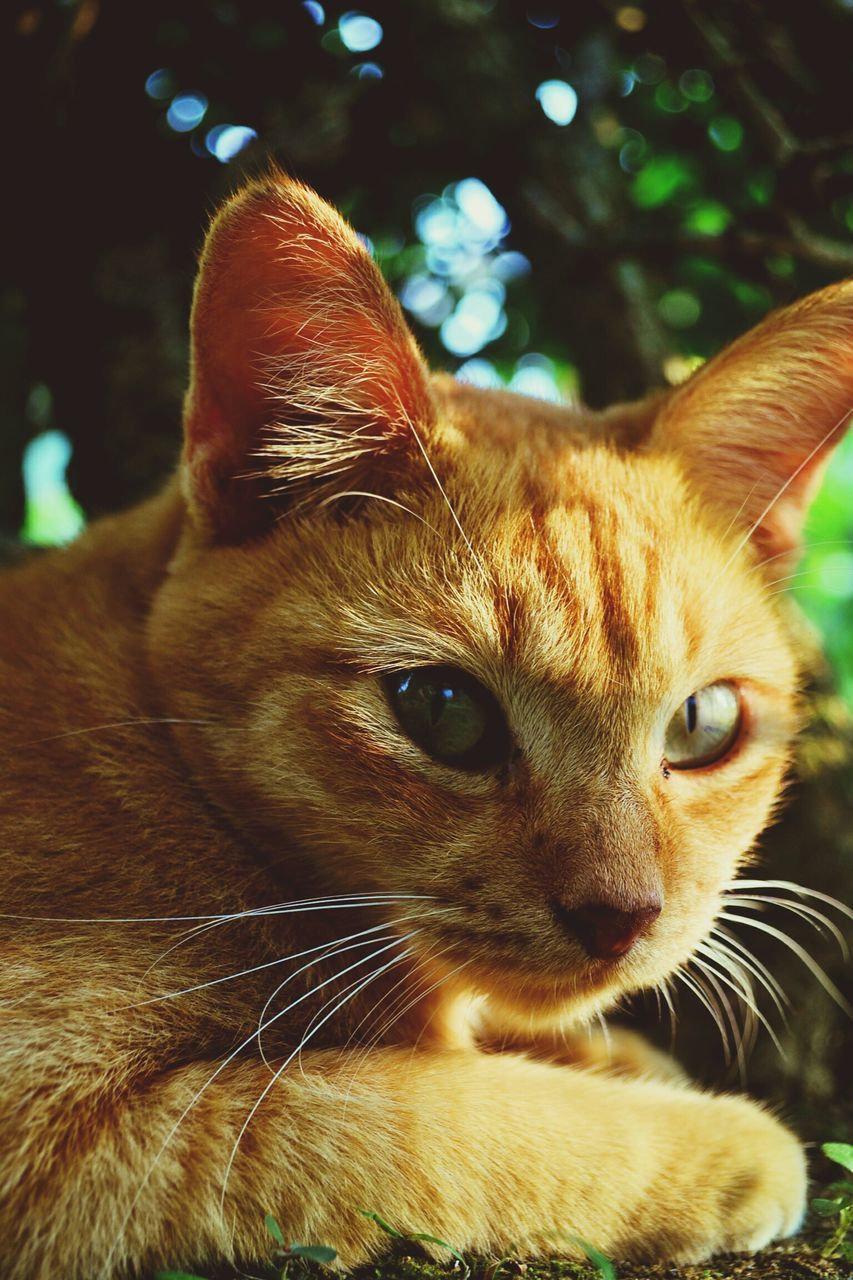 animal themes, one animal, domestic cat, mammal, pets, domestic animals, whisker, feline, close-up, focus on foreground, no people, portrait, looking at camera, ginger cat, day, indoors, nature