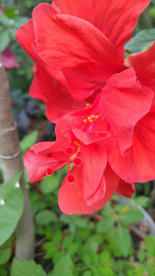 Hibiscus Flower Red Petals Yellow Pollen Summer Garden Container Gardening Flower Pot Florida