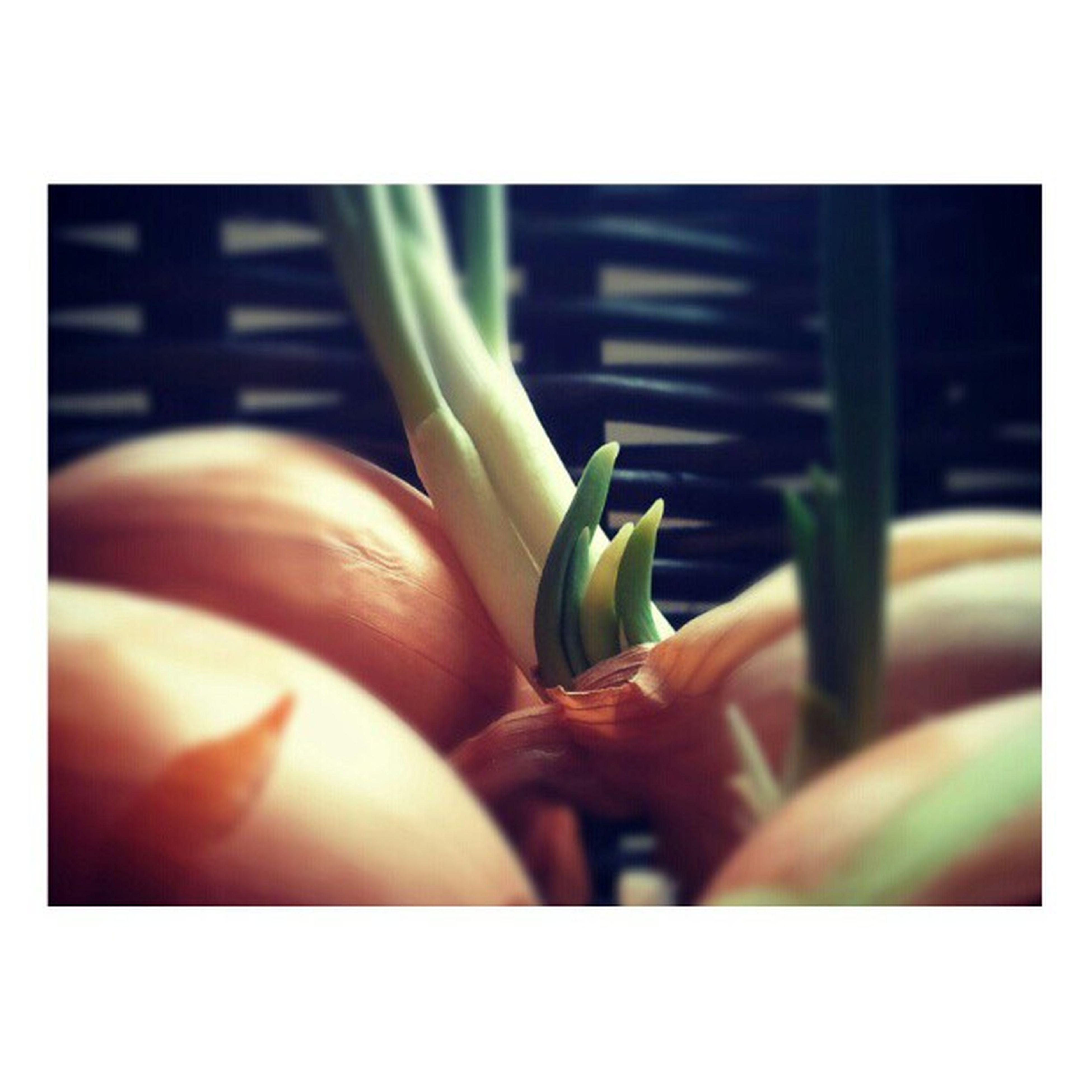 Onion Closeup Foodart Foodpics foodporn grow implus_daily ig_israel primeshots statigram instabest instashots ig_snapshots instahome inmykitchen מה_שעושים_במקום_לנקות