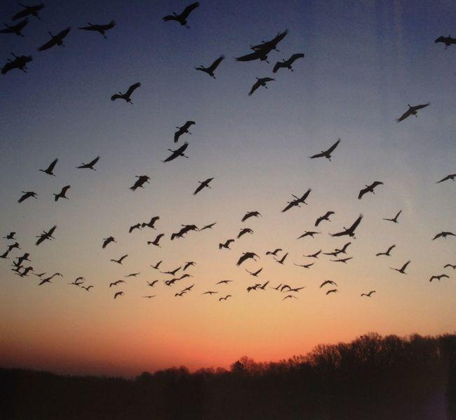 Beautiful Nature Birds_collection Migratory Birds cranes cinders