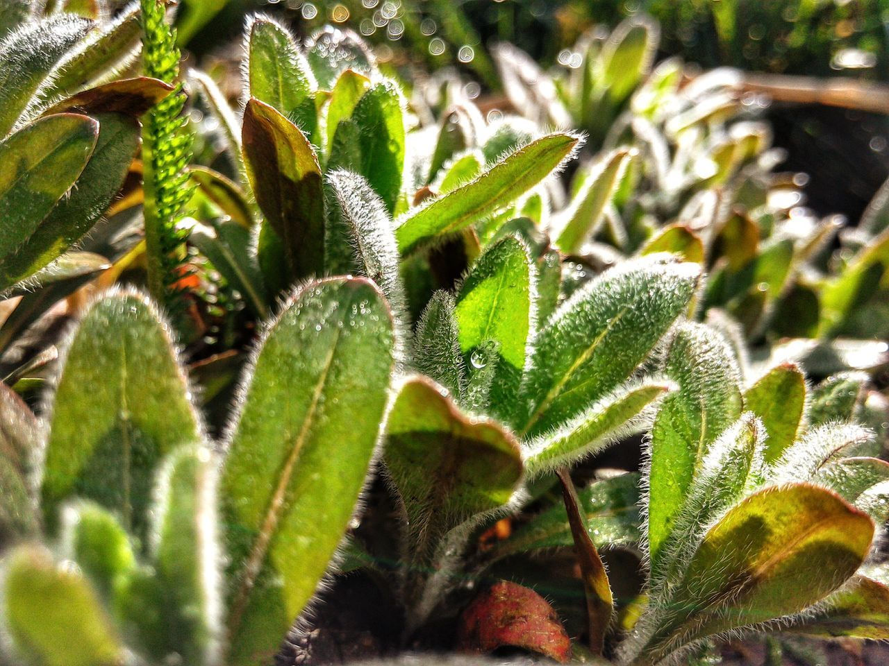 Perennial Growing Leaves Macro Morning Sun Dew Drops Dew Bokeh Garden Garden Photography Hairy Leaves Showcase April