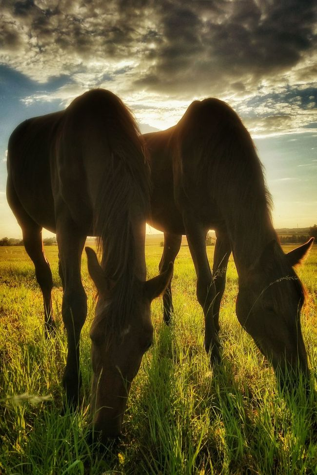 Horses Sunset Nature_collection Nature Photography Naturelovers Meadow Meadowlands Grassland Golden Hour