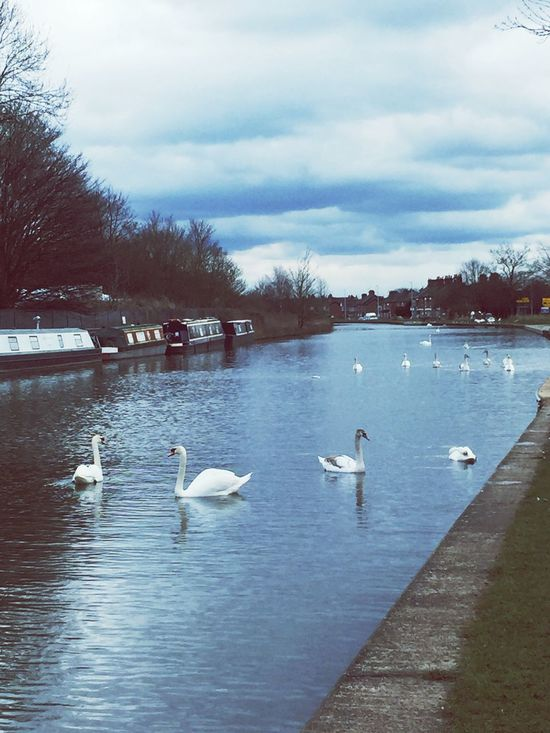 Swans Swans On The Lake Canal Canal Walks Middlewich Cheshire Swan Swantastic Swans Swimming Swans ❤ Swan Lake Taking Photos Check This Out Canal Barge Showcase March Water Nature On Your Doorstep Nature Naturelovers Nature_collection Sky And Clouds Clouds And Sky Blue Sky Nature Photography Kings Lock