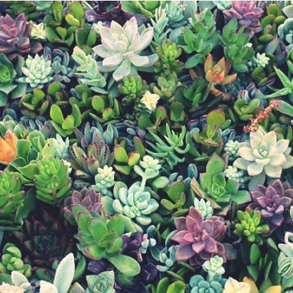 Succulents Plant Life